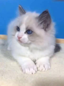 Special Zone Purebred Muppet Cat Kitten Sea Two-color Blue Eyed Cat Live Larvae Cat Live Animal Pet Cat QD7