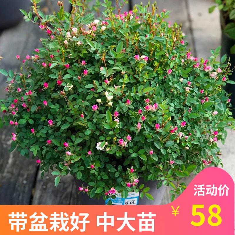 庭院阳台超微 微型多头月季 花朵如指甲盖花量大花期长花卉植物