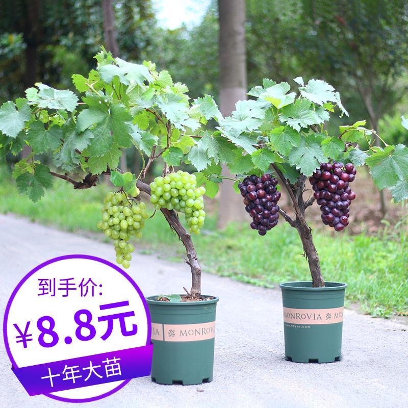 新型四季葡萄苗南方种植爬藤室内盆栽当年结果蓝宝石葡萄树苗北方图片