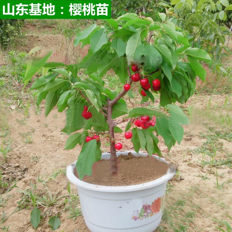 2颗大樱桃苗盆栽地载樱桃树苗南北方种植当年结果车厘子苗嫁接苗