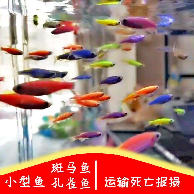 热带鱼小鱼活体孔雀鱼斑马鱼 草缸淡水宠物小型鱼热带观赏鱼好养