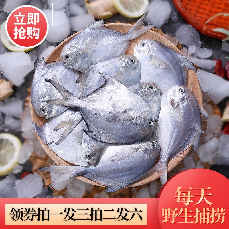 贤香村野生白鲳鱼新鲜冷冻东山新鲜捕捞鲜活银鲳鱼