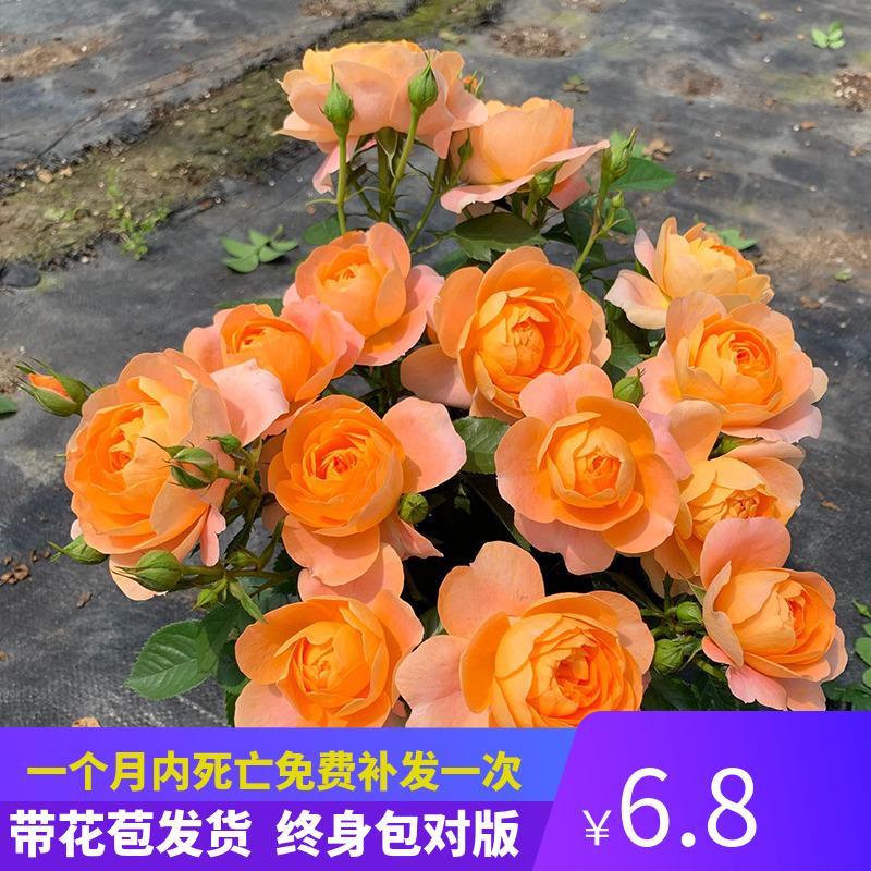 月季特大花浓香果汁阳台庭院花卉植物盆栽蔷薇四季玫瑰花苗带花苞