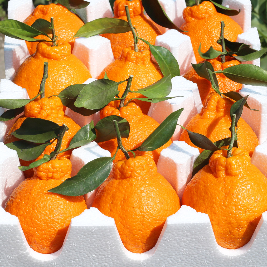 四川丑橘新鲜丑八怪不知火丑柑现季水果新鲜当季整箱10甜粑粑桔子
