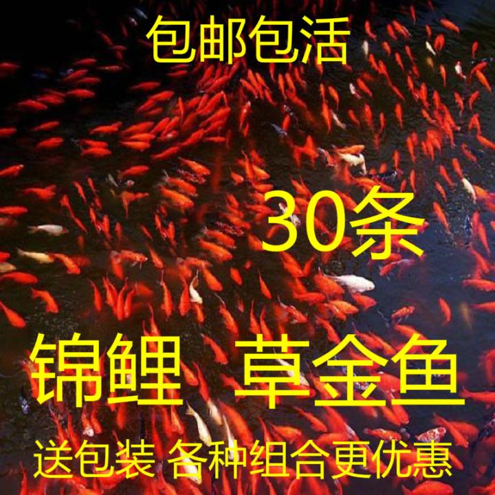 小鱼活观赏鱼小型淡水好养金鱼活鱼冷水鱼饲料鱼苗锦鲤小金鱼活体