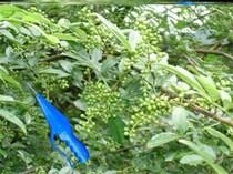 摘花椒机采摘电机脱手持式主动小型摘花椒神器密斯高枝收割铰剪机