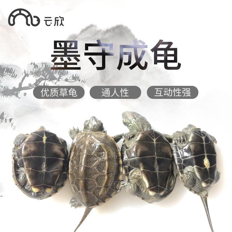 迷你全黑墨龟苗纯种顶墨墨龟小乌龟中华草龟活体动物深水龟招财龟