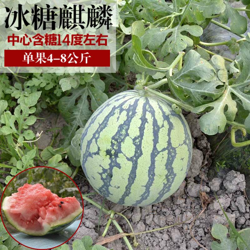 西瓜种籽 8424麒麟 特大巨型早熟甜南方蔬菜盆栽无子小西瓜种子孑