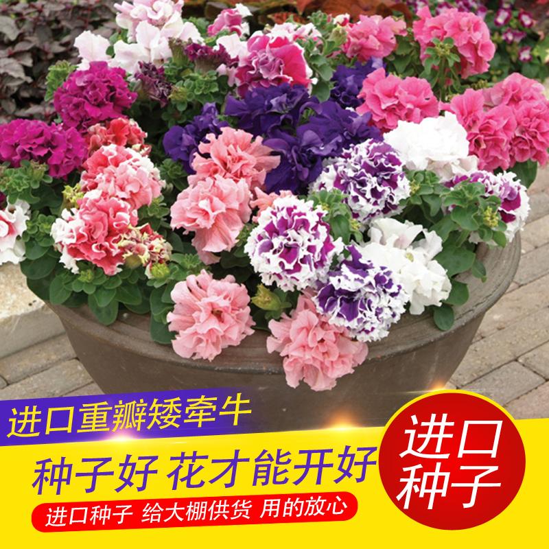 【醉花园艺】泛美进口重瓣矮牵牛种子 花种子 四季播种阳台盆栽