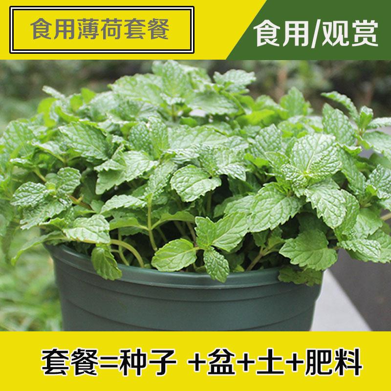 薄荷种子可食用驱蚊虫大叶盆栽四季室内种植留兰香柠檬猫薄荷种籽