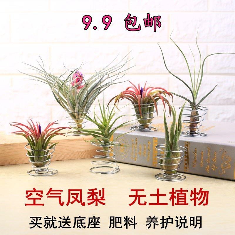 空气凤梨办公室内净化空气无土植物美杜莎桌面绿植吸甲醛花卉