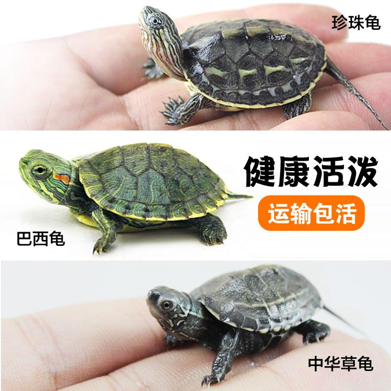 小巴西苗中华草龟苗观赏龟宠物鳄龟乌龟活体珍珠龟中华花龟鳄鱼龟
