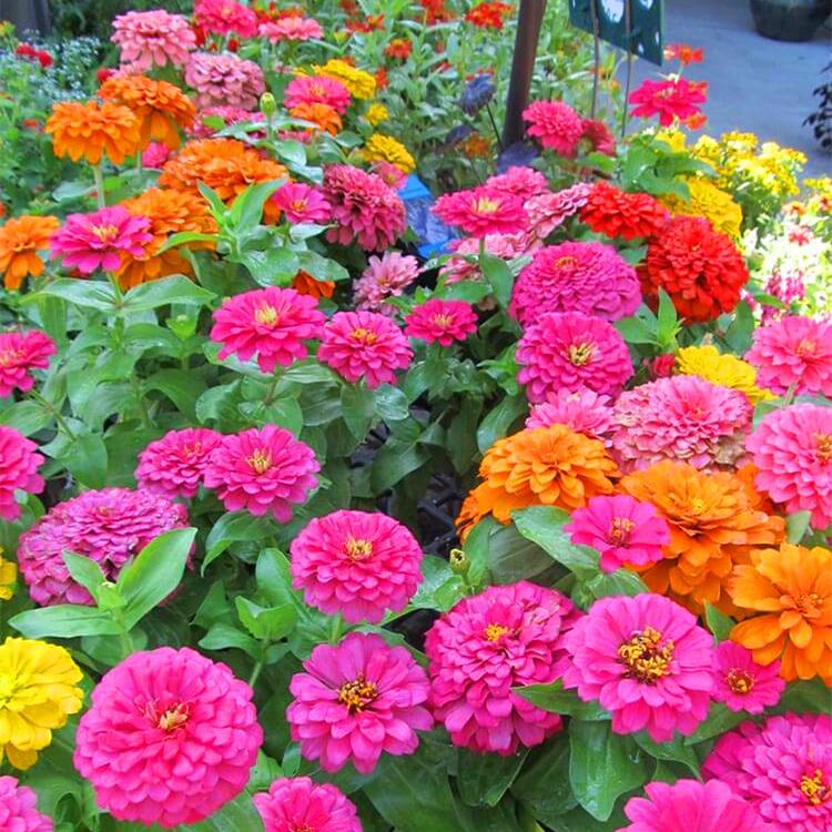 百日草种子重瓣矮杆大花混色花草种籽庭院阳台四季种易活开花不断