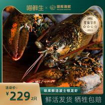 【喵鲜生】波士顿大龙虾鲜活特大波龙澳龙海鲜水产鲜活到家
