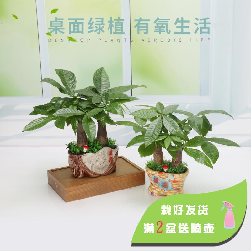 发财树盆栽植物净化空气去甲醛客厅工作室内四季常青绿植小盆景