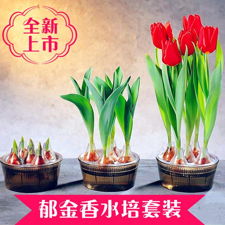 荷兰进口郁金香种球水培套装多年生花卉种子花