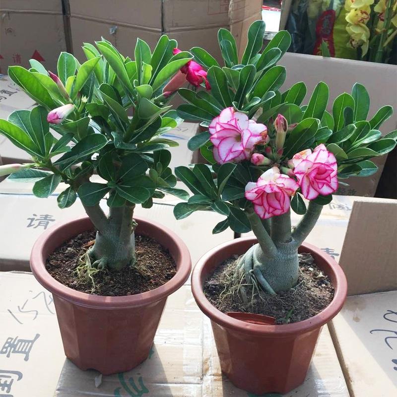 重瓣沙漠玫瑰花苗盆栽四季开花不断老桩室内阳台植物好养的花卉
