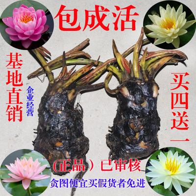 大睡莲根块 池塘水池 水生植物 水生根块 睡莲花根茎种子苗包成活
