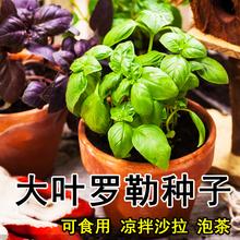 罗勒种孑四季柠檬罗勒苗3c8栽菜种籽5a塔甜罗勒