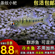 条纹(小)�原生鱼mi4体中国斗sa清洁鱼养耐活观赏鱼好养