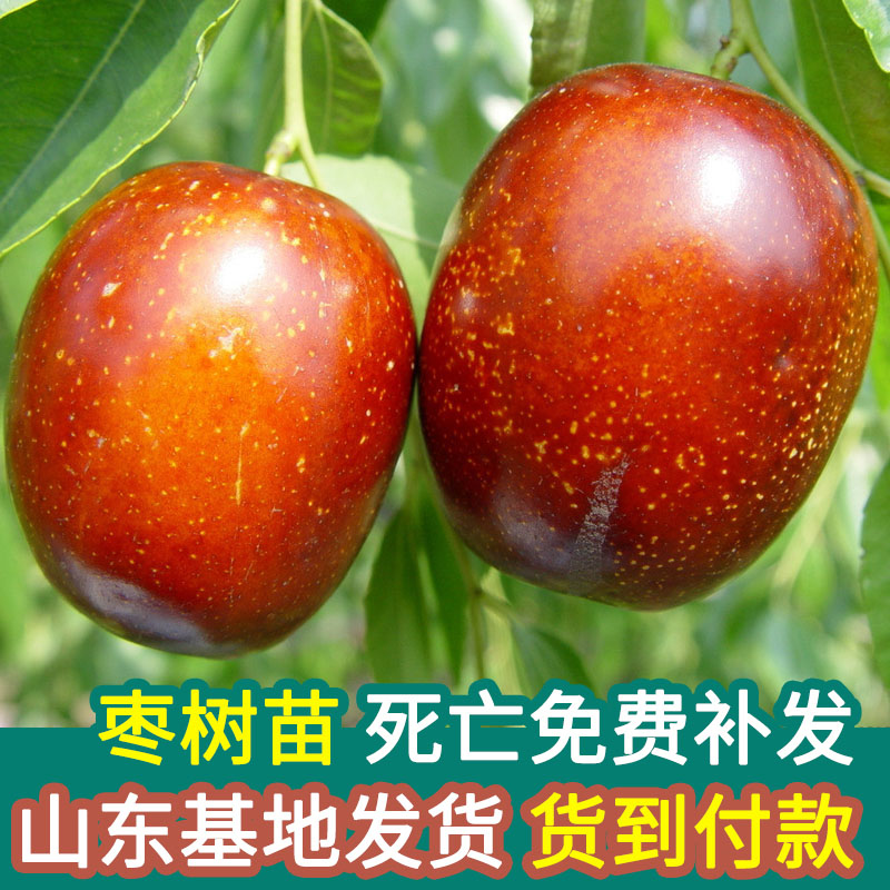 枣树苗新疆大枣北方种植超甜嫁接当年结果南方种冬枣盆栽地栽包邮