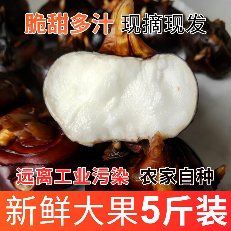 新鲜马蹄荸荠果鲜水果特大农家湖北特产5斤菩荠地梨地栗红水栗果
