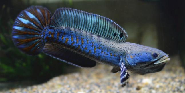 幻彩红宝石 雷龙 雷龙鱼 蛇头鱼 鳢 热带鱼 观赏鱼鱼活体图片