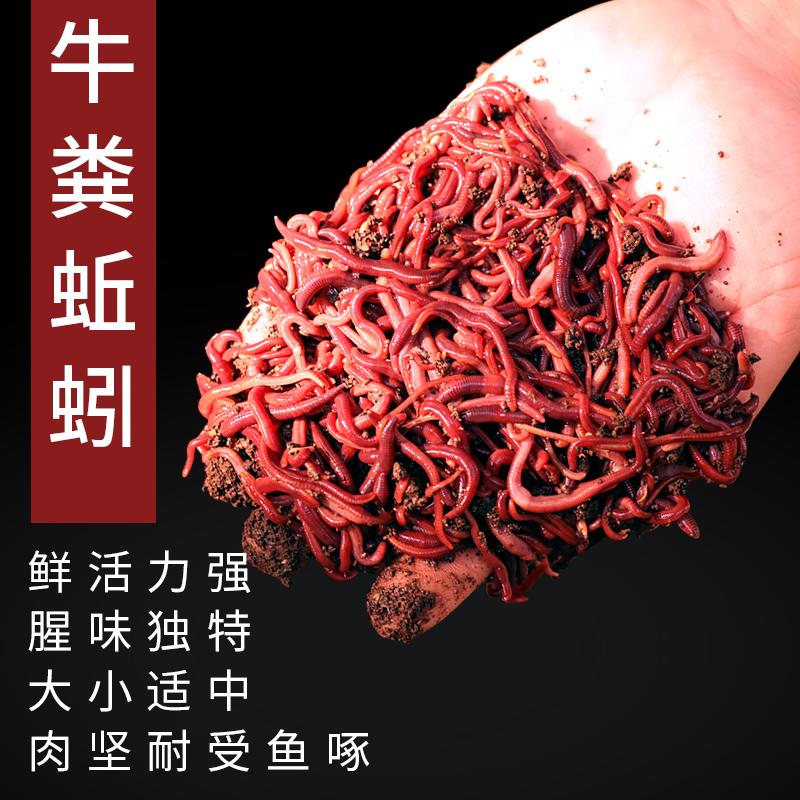 钓鱼活饵蚯蚓野钓鲜活小号大号特大号红虫1斤大红散装盒装黑坑饵