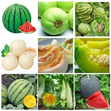 水果香瓜 西瓜 哈密瓜种hp10 甜瓜jx 盆栽蔬菜种子