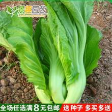 高钙菜种子 包心芥pf6种子 庭f8菜籽盆栽四季播春季蔬菜种子
