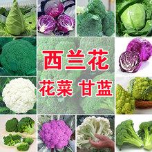 四季播蔬菜种子绿霸王西兰ab9种子花青uo子甘蓝包菜花菜籽