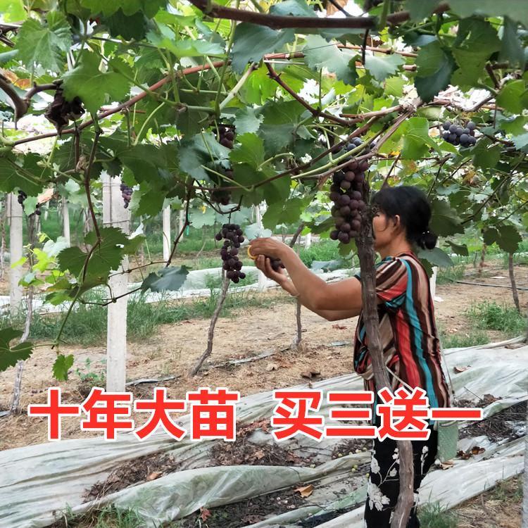 四季葡萄苗南方种植爬藤室内盆栽当年结果蓝宝石葡萄树苗北方品种