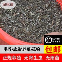 台湾泥鳅苗新颖豢养放生乌龟龙鱼垂钓青鳅本地圆鳅小泥鳅养殖海水
