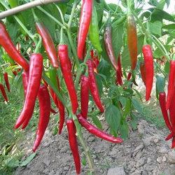 四川二金条辣椒种孑高产线椒四季播盆栽阳台农家菜园种蔬菜种子籽