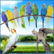 活的虎皮鹦鹉幼鸟活体宠物鸟小鸟白云斑活鸟黄化玄凤观赏情侣鸟