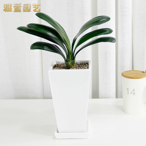 Ya Xuan Gardening Clivia Potted Indoor Flowers Green Plants Precious Flowers Office Desktop Potted Plants