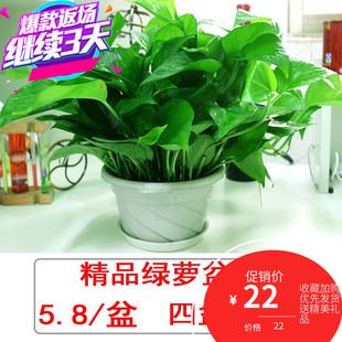 绿萝盆栽室内绿植物办公室水培长藤大盆绿箩吸甲醛花卉盆吊兰花卉