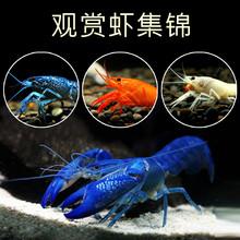 包邮观lu0虾淡水活lf水耐活天空蓝魔鳌虾草缸宠物火山破坏者