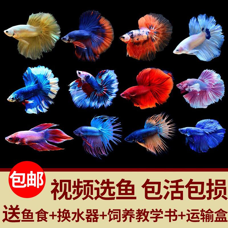 泰国斗鱼活鱼巨斗半月暹罗级大斗练手鱼热带鱼观赏鱼活体公母包邮