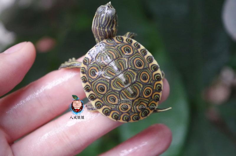 八戒姐姐外塘大河甜甜圈龟活体塔巴斯哥红耳龟尼加拉瓜彩龟乌龟