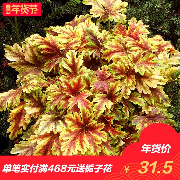 【虹越】花园庭院耐寒彩叶矾根小盆栽花卉植物