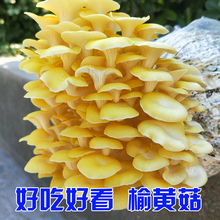 蘑菇种植包平菇菌包种mb7菇菌种家to菇菌包种子榆黄菇