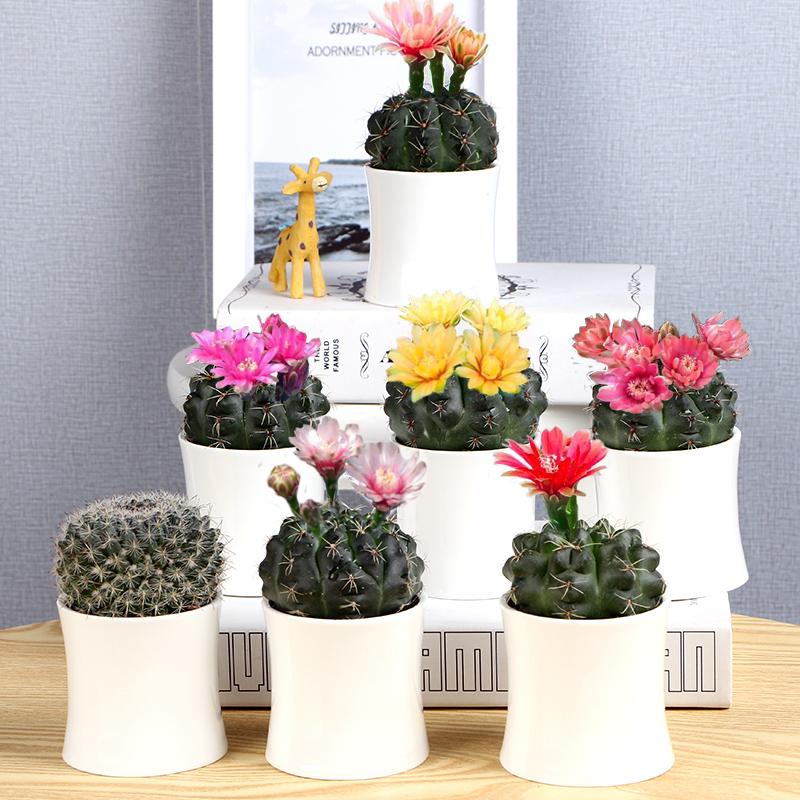 绯花玉开花仙人球仙人掌类多肉植物小盆栽办公室内桌面防辐射花卉