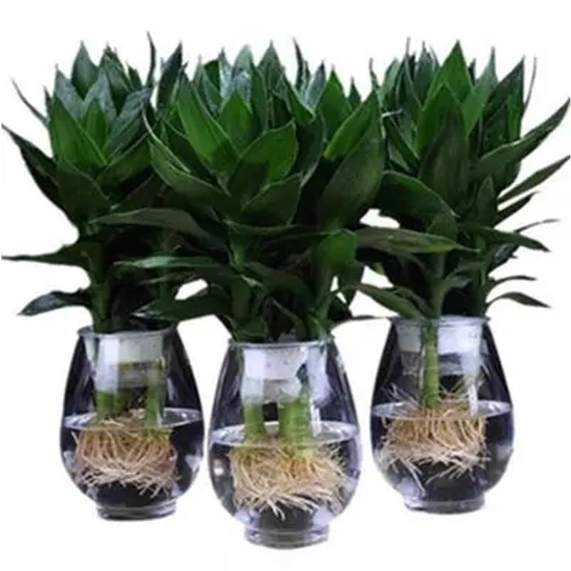 水培观音竹 富贵竹绿植花卉室内盆栽 办公室吸甲醛水养盆栽包邮