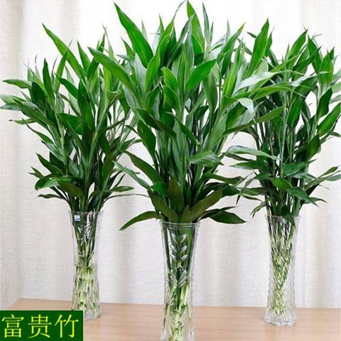 富贵竹水培植物盆栽转运竹室内观音竹开运竹四季常青水养花卉绿植