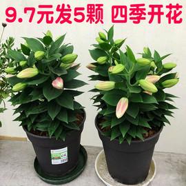 5颗百合花盆栽四季开花带芽香水百合室内外花卉盆栽好养百合种球