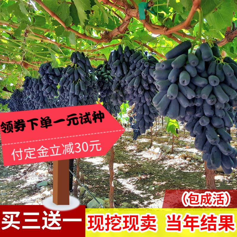 蓝宝石葡萄苗大苗果树果苗爬藤当年结果不葡萄甜蜜无核葡萄树�m树