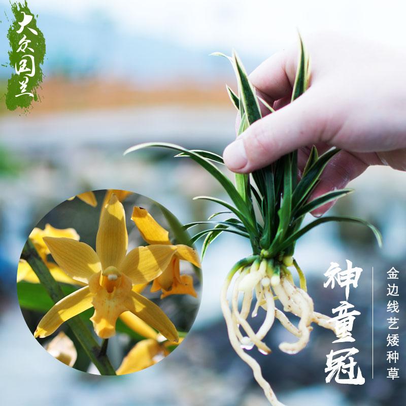 大众国兰草矮种名贵金边线艺兰花苗神童冠建兰盆栽植物浓香带花苞