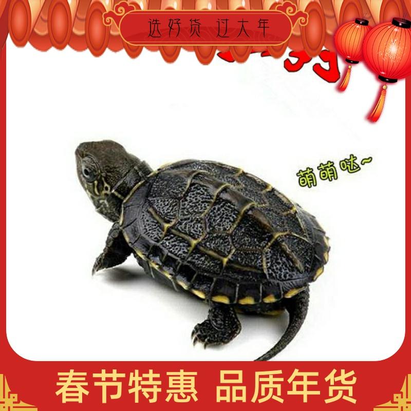 小乌龟活体中华草龟外塘草龟观赏龟活物金线龟宠物招财一对长寿。