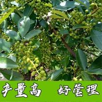 九叶青花椒苗树盆栽昔时成果食用四川藤椒苗大红袍麻椒地栽果树苗